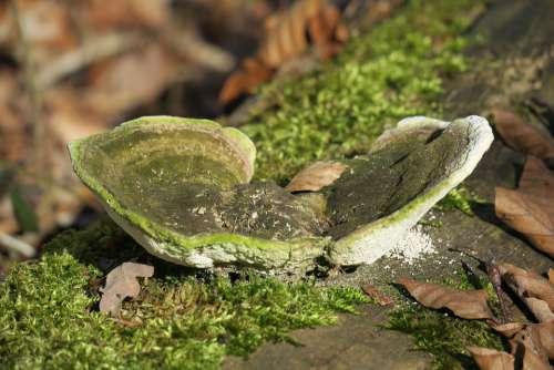 Tinder Fungus Tinder Forest Mushroom Tree Fungus