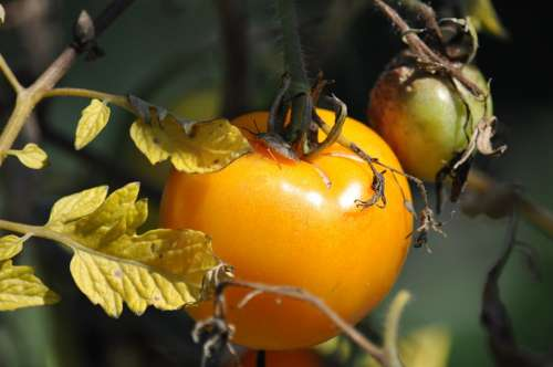 Tomato Garden Autumn Nature