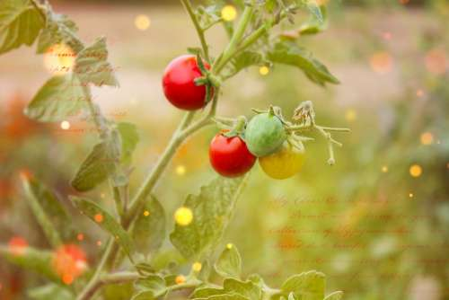 Tomato Plant Trusses Vegetables Tomatoes
