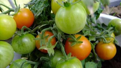 Tomatoes Vegetable Garden Harvest Vegetables Food