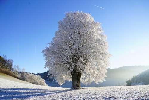 Tree Wintry Hoarfrost Branch Iced