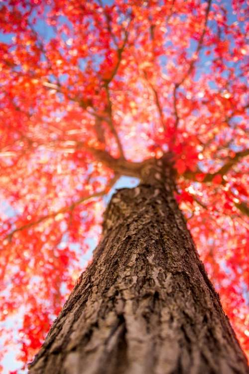 Tree Red Fall Autumn Nature Season Colorful