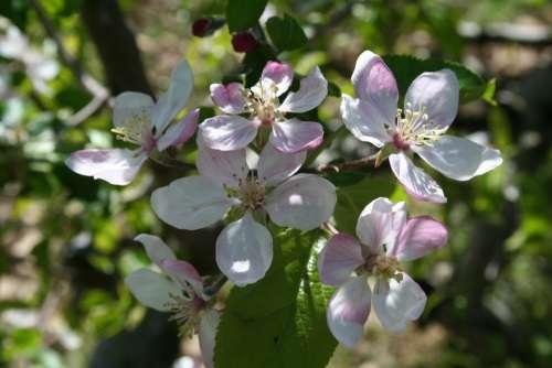 Tree Orchard Flower