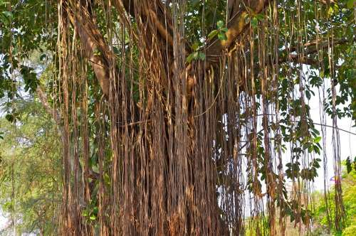 Tree Tree Giant Nature Lianas Aerial Roots Laos