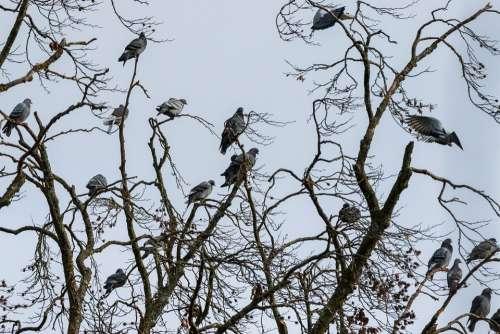 Tree Pigeons Bird Nature Animal Animal World