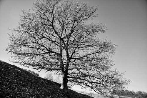 Tree Oak Nature Landscape Scenic Black White
