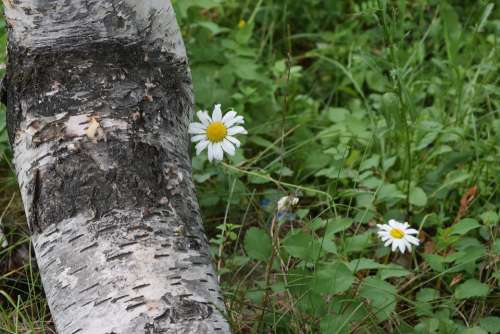 Tree Flower Daisy Bloom Nature White Outdoors