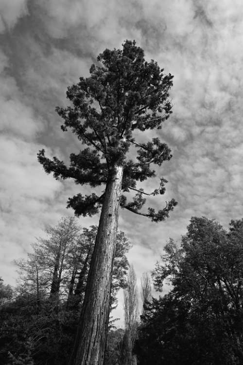 Tree Forest Dramatic Cloudiness Black And White