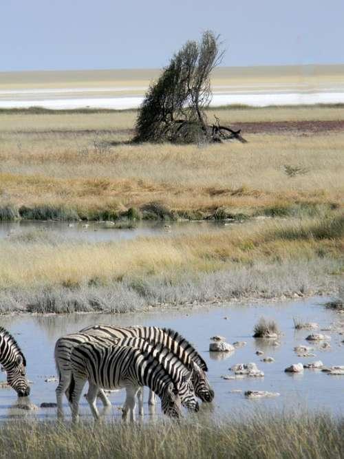 Tree Africa Namibia Desert Nature Landscape