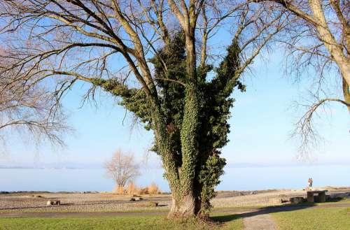 Tree Ivy Entwine Sky Lake Lake Constance Mood