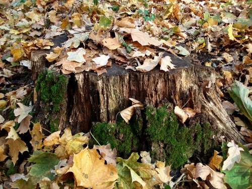 Tree Stump Fall Leaves Moss Season Forest Nature