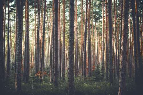 Trees Forest Woods Thicket Pine Trees Pine