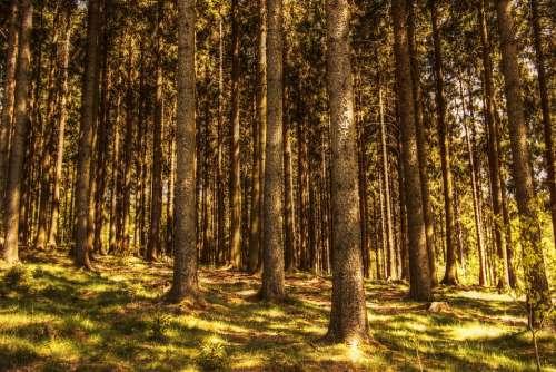Trees Fir Forest Nature Conifers Sunlight