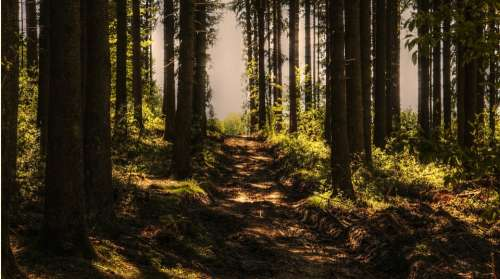 Trees Forest Forest Path Sunlight Conifers