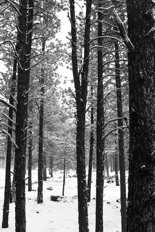 Trees Winter Snow Nature Forest