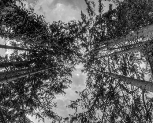 Trees Nature Leaves Sky Forest Fir Perspective