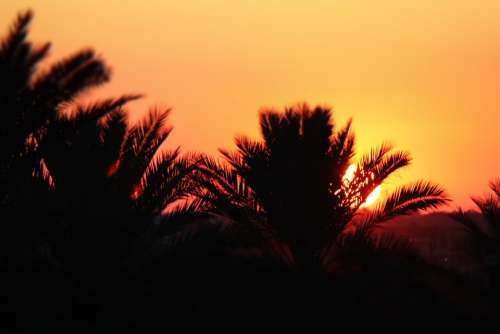 Trees Sunset Orange Nature Iraq Date Palm