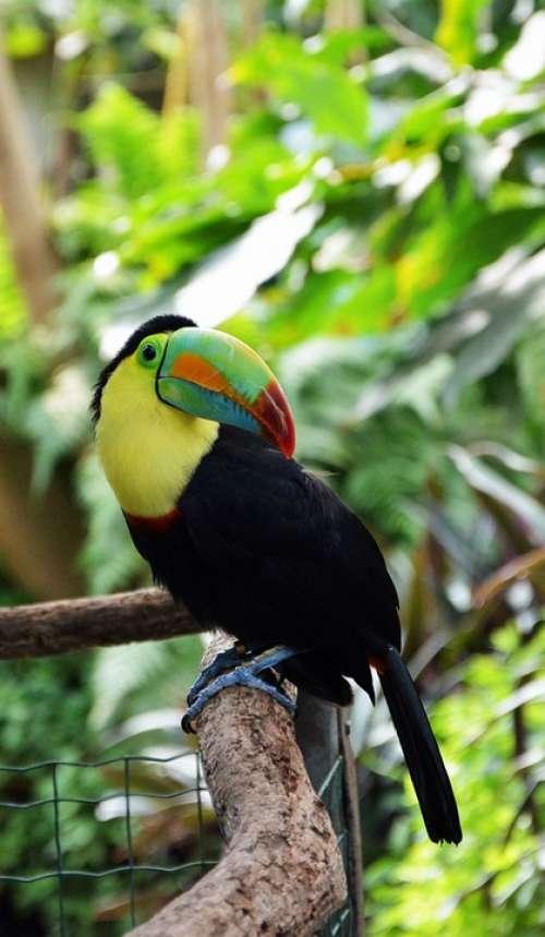 Tucan Bird Tropical Bird Plumage Colorful Animal