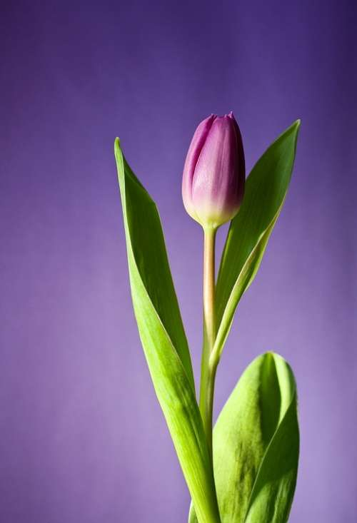 Tulip Flower Bloom Pink Flowers Spring Nature