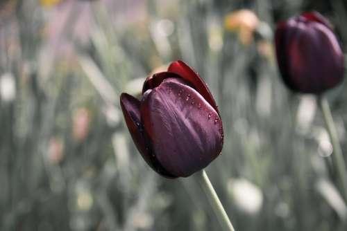 Tulip Flower Purple Flowers