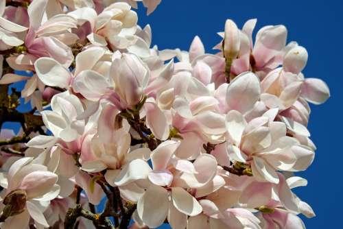 Tulip Magnolia Tree Bush Magnolia Magnoliengewaechs