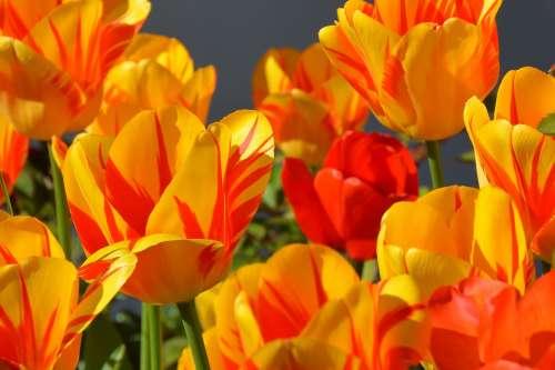 Tulips Tulip Flower Flowers Red Yellow Orange