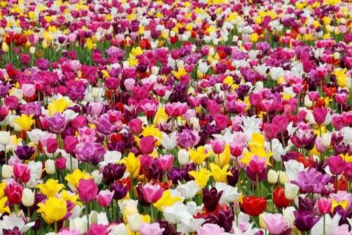 Tulips Flowers Tulip Field Tulpenbluete