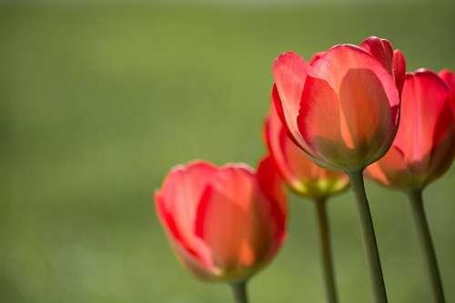 Tulips Red Red Tulips Garden In The Garden Nature