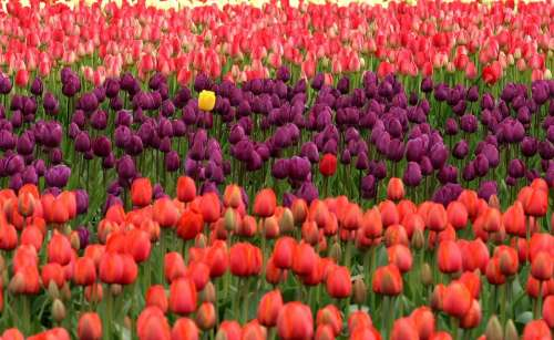 Tulips Flowers Red Purple Field Many Standing Out