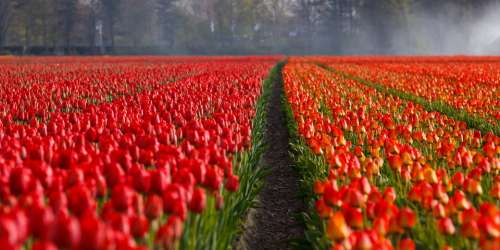 Tulips Tulip Field Fields Orange Red Background
