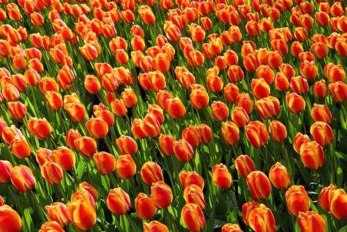 Tulips Tulip Orange Red Background Wallpaper