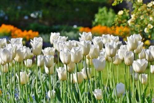 Tulips Tulip Field Tulpenbluete White Tulips