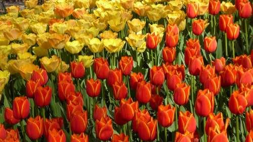 Tulips Holland Keukenhof