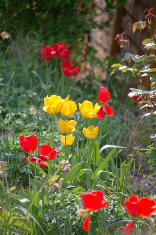 Tulips Meadow Bed Spring Flowers Nature Garden