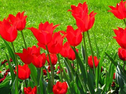 Tulips Flowers Spring Color Intensive Red