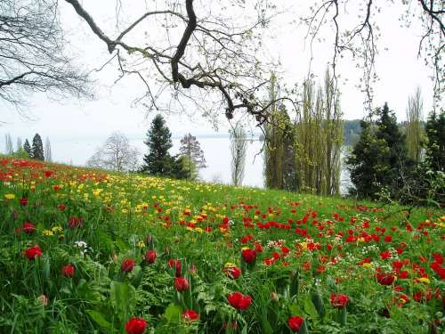 Tulips Tulip Meadow Green Blossom Bloom Red