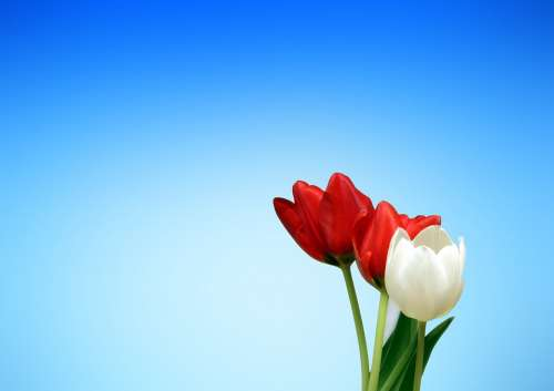 Tulips Flowers Red White Spring Aesthetics
