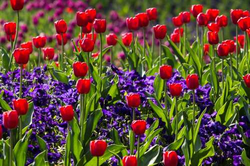 Tulips Spring Light Colorful Red Macro