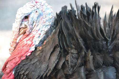 Turkey Poultry Living Nature Feathers Portrait