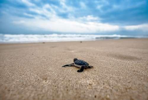 Turtle Coast Amphibian Animal Reptile
