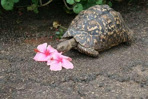 Turtle Tortoise Flower Eater Tortoise Shell Armored