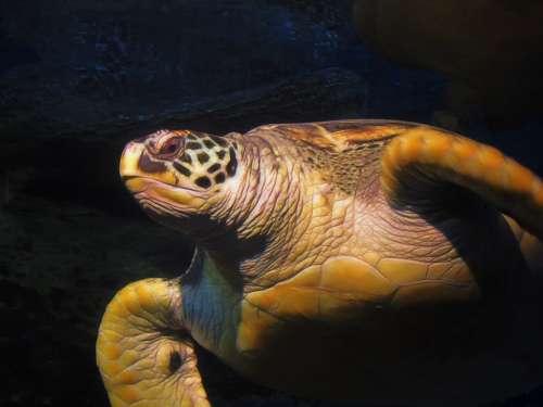 Turtle Water Sea Ocean Animal Nature Underwater