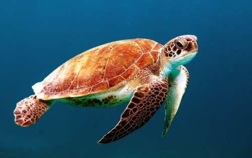 Turtle Tortoise Swim Sea Turtle Creature Ocean