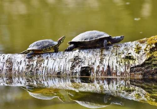 Turtles Reptile Tortoise Shell Animal Water Turtle