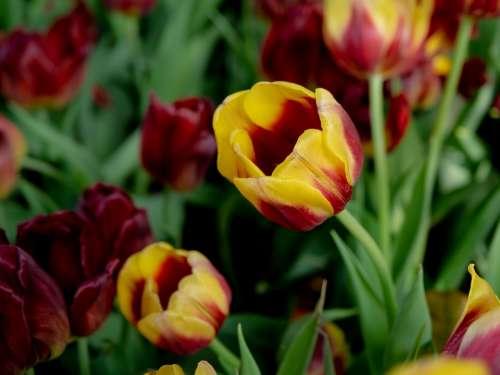 United Tu-Lip Flower Beautiful Flowers Dutch Flowers
