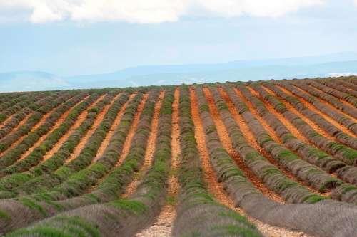 Valensole Lavender Field Barren Agriculture