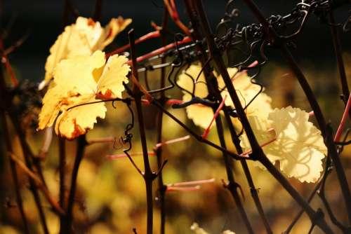 Vine Leaf Autumn Yellow Golden Autumn Wine