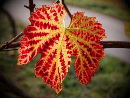 Vine Leaf Autumn Yellow Red Golden Autumn Wine