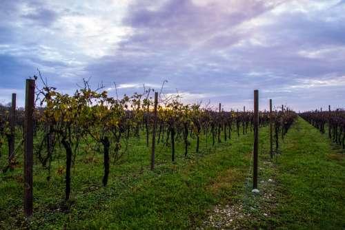Vineyard Autumn Cloud