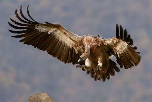 Vulture Bird Wings Prey Scavenger Wild Predator